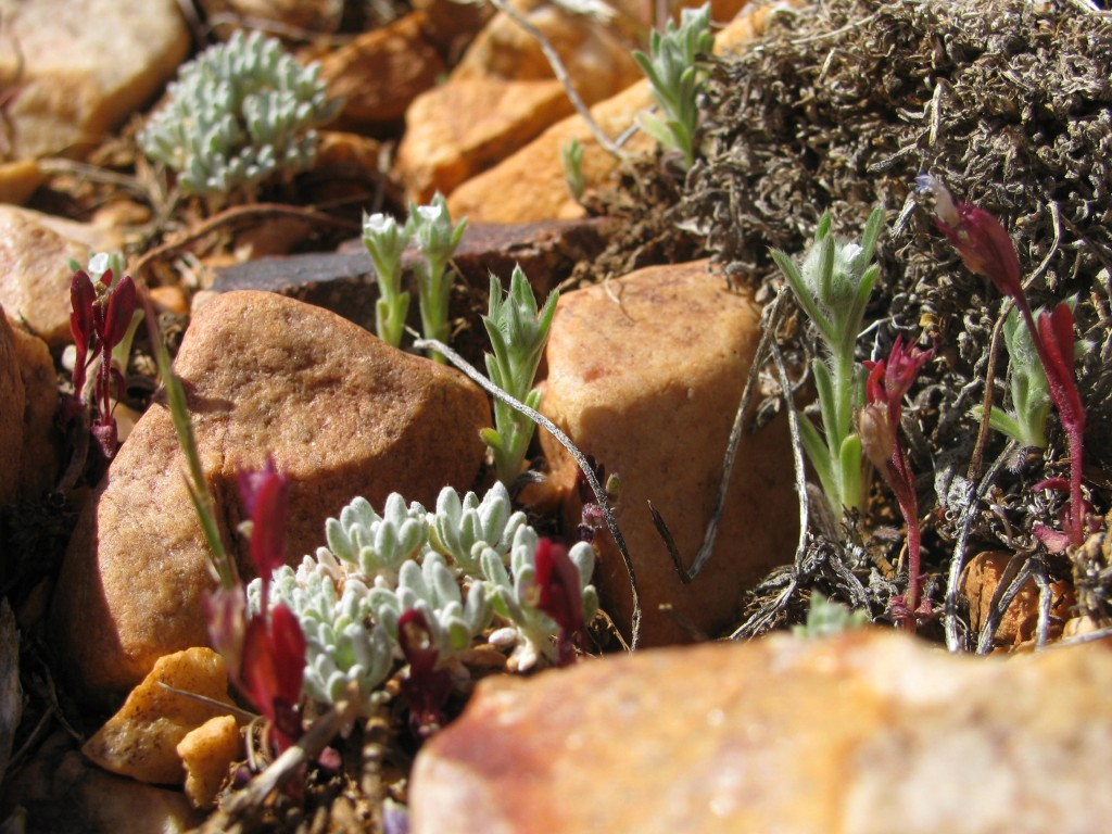 ecosystems at risk 1 belly plants of the pebble plains