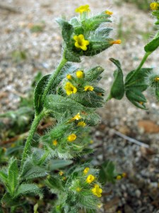"""A species of the Cryptantha (""""hidden flower"""") genus"""