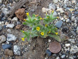 "A species of the Cryptantha (""hidden flower"") genus, with penny for scale"