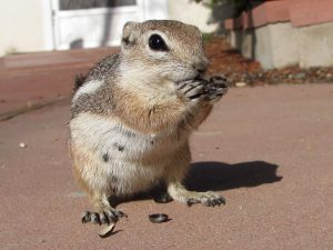 Mrs. Stubbs (Ammospermophilus leucurus), eating sunflower seeds