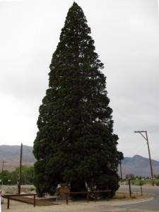 """The Roosevelt Tree"""