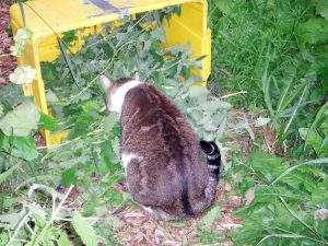 Cricket inspecting a Catnip harvest. Among cats, Cricket rated high on the catnip-fiend scale.