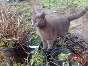 Fugz the Farmcat, as a kitten, standing in pots of Catnip. He became a fiend of this favorite herb of cats.