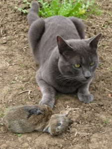 Fugz the Farm Cat with a rabbit kill. He was a hunter among cats.