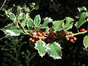 Common Holly (Ilex aquifolium)