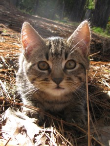 """Hanging out in the straw, the picture of """"cute."""" All kittens become cats. Enjoy them every moment at this age."""