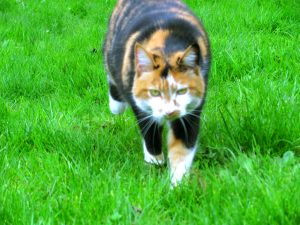 Prosperous Calico, stalking intently. A very cat-like cat among cats.