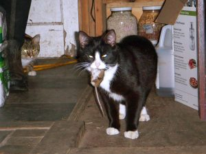 Sylvio catches a mouse while his sister, Little Bean, looks on. Cats doing their job.