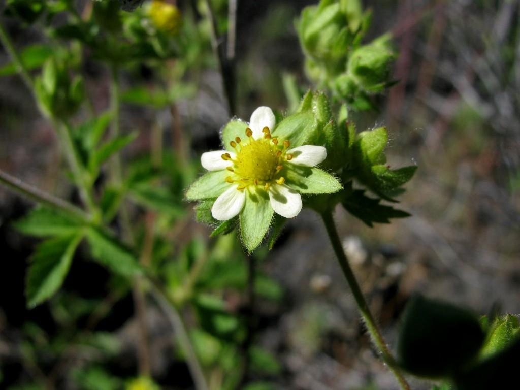 Sticky Cinquefoil (Drymocallis glandulosa) in the Rose Family (Roseaceae)
