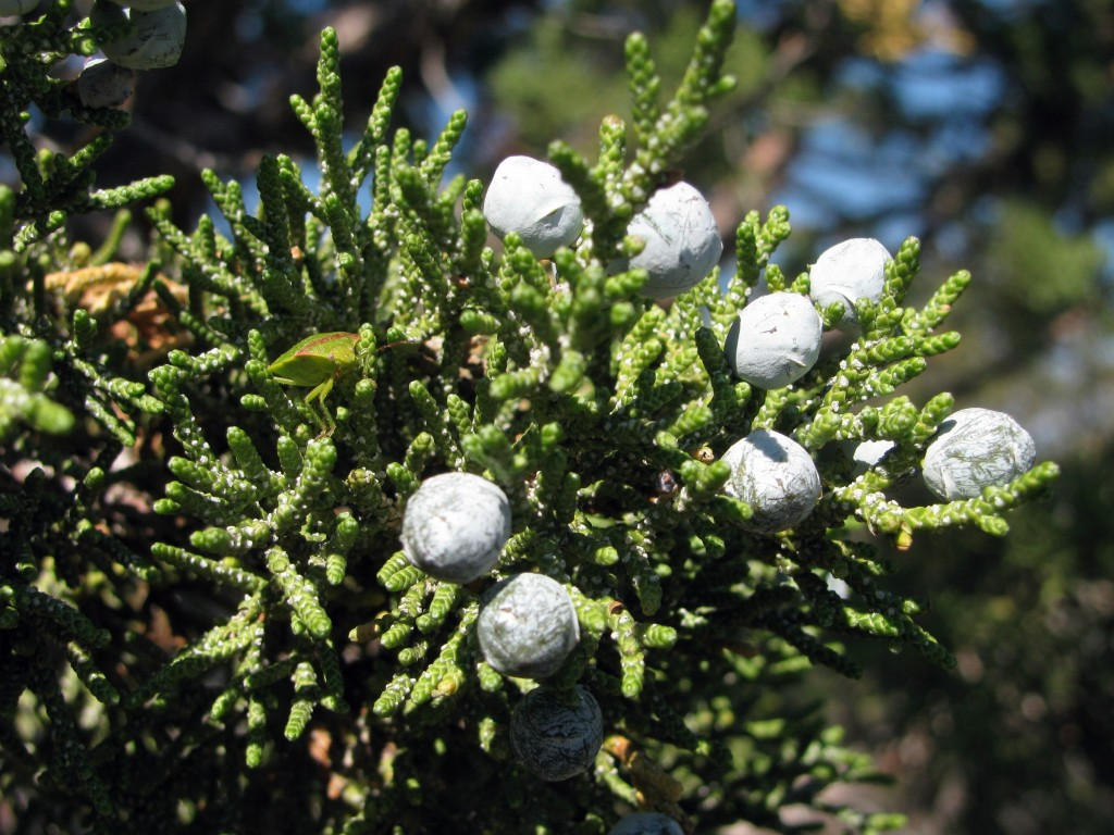 California Juniper (Juniperus californica) in the Cypress Family (Cupressaceae)