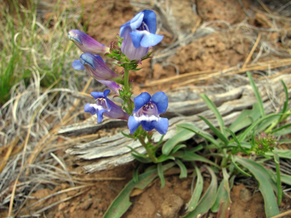 Plumas County Beardtongue (Penstemon neotericus) in the Figwort Family (Scrophulariaceae)