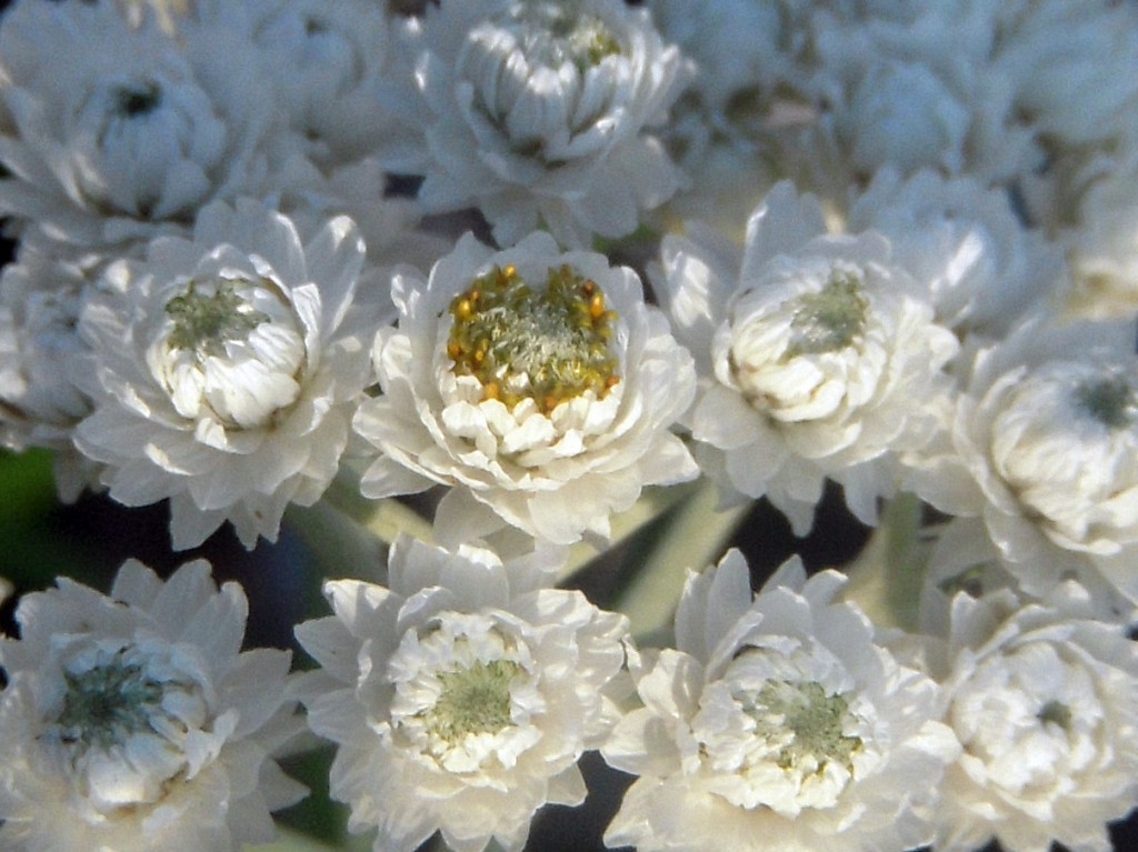 Pearly Everlasting (Anaphalis margaritacea) - close-up of flower