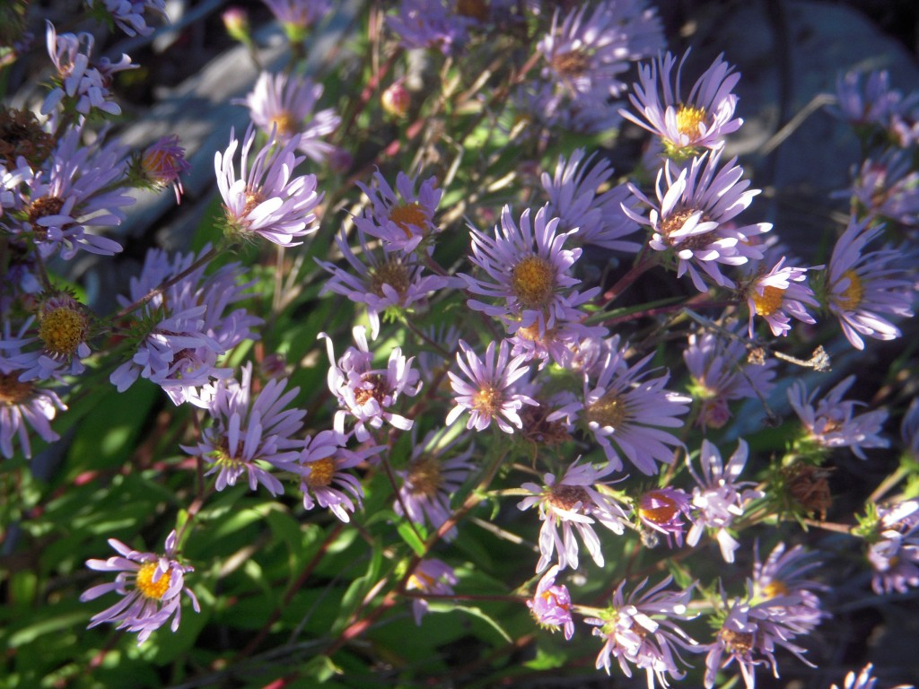 Asters, unknown species