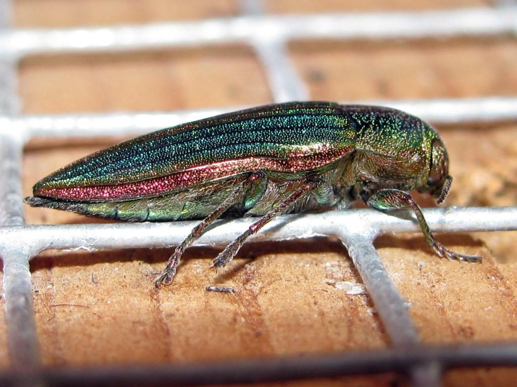 Jewel Beetle (Buprestis aurulenta) - sideview
