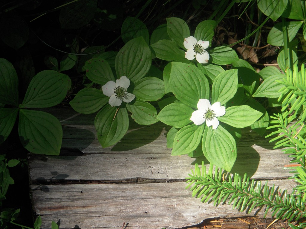 Dwarf Dogwood or Bunchberry (Cornus canadensis)