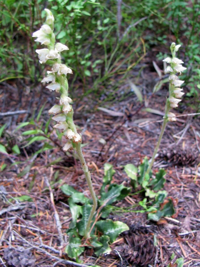 Rattlesnake Plantain (Goodyera oblongifolia)