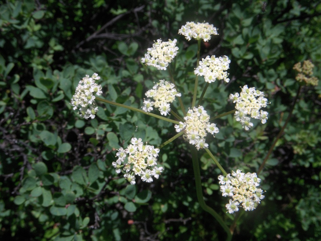 Ligusticum, unknown species - flowers