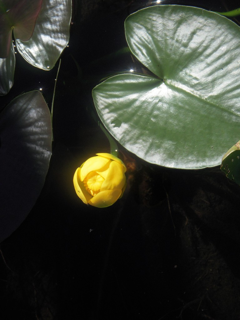 "Great Yellow Pond-Lily or ""Wokas"" (Nuphar polysepala)"