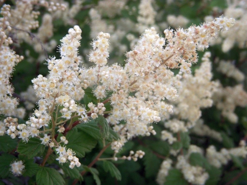 Ocean Spray (Holodiscus discolor) - closeup of flowers
