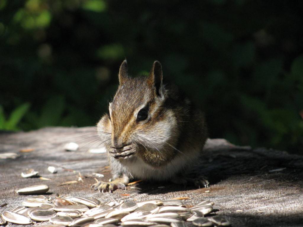 Chipmunk in chiaroscuro