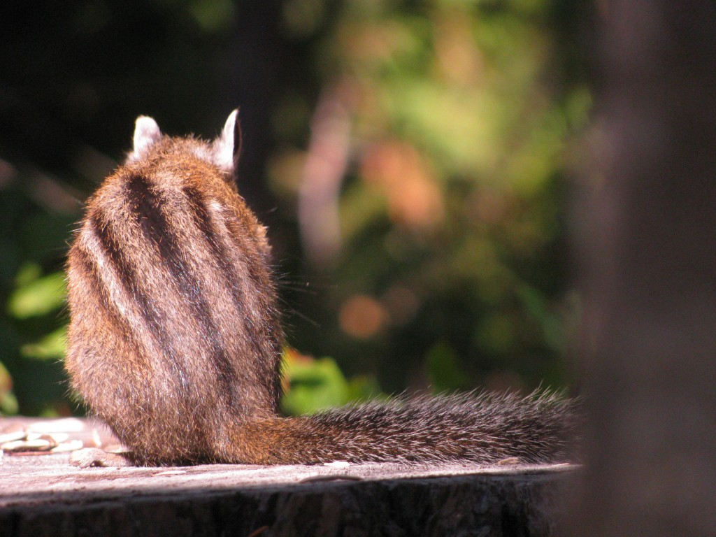 Chipmunk, from behind