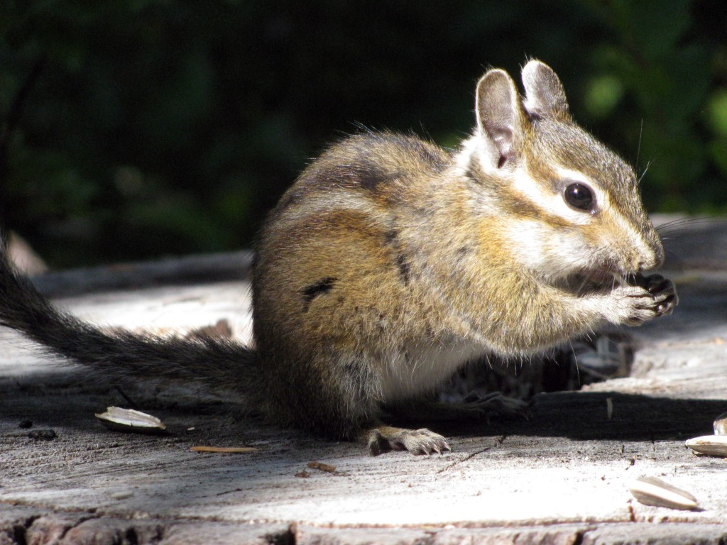 Chipmunk, shelling sunflower seeds
