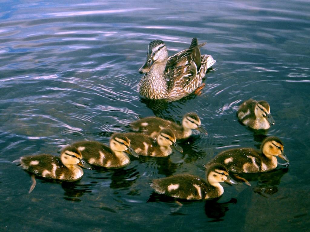 Mallard mama & ducklings, not Photo-shopped