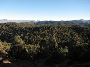 Pinyon forest in central Nevada