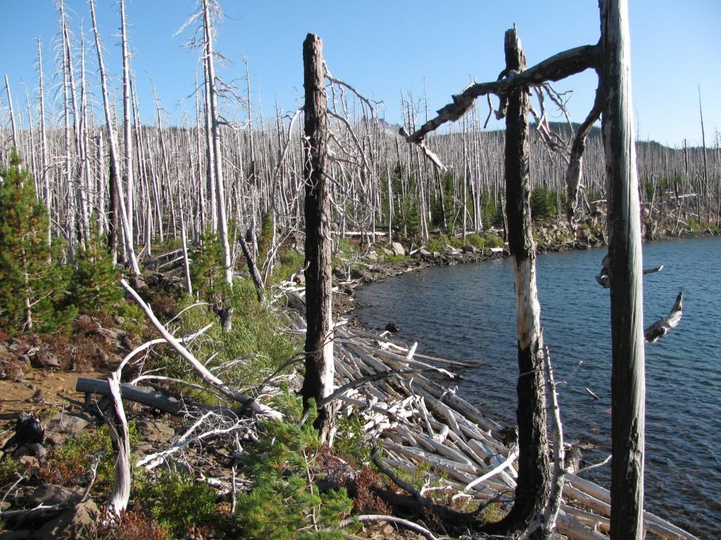 Snag Forest beside Olallie Lake