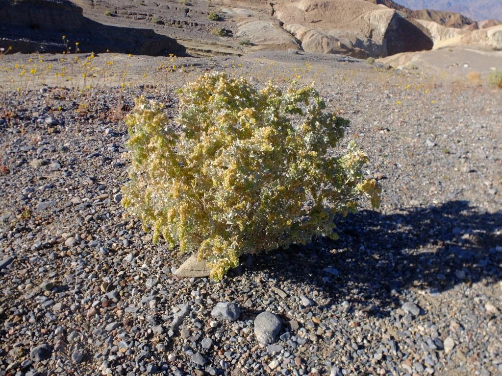 """""""Desert Holly"""" (Atriplex hymenelytra, Family: Chenopodiaceae)"""