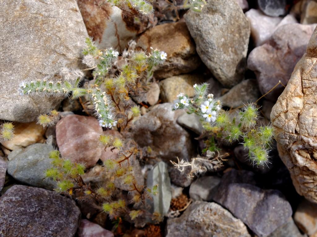 """Panamint Catseye"" (Cryptantha angustifolia, Family: Boraginaceae)"
