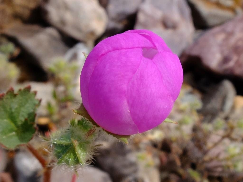 """""""Desert Five-Spot"""" - flower opening (Eremalche rotundifolia, Family: Malvaceae)"""
