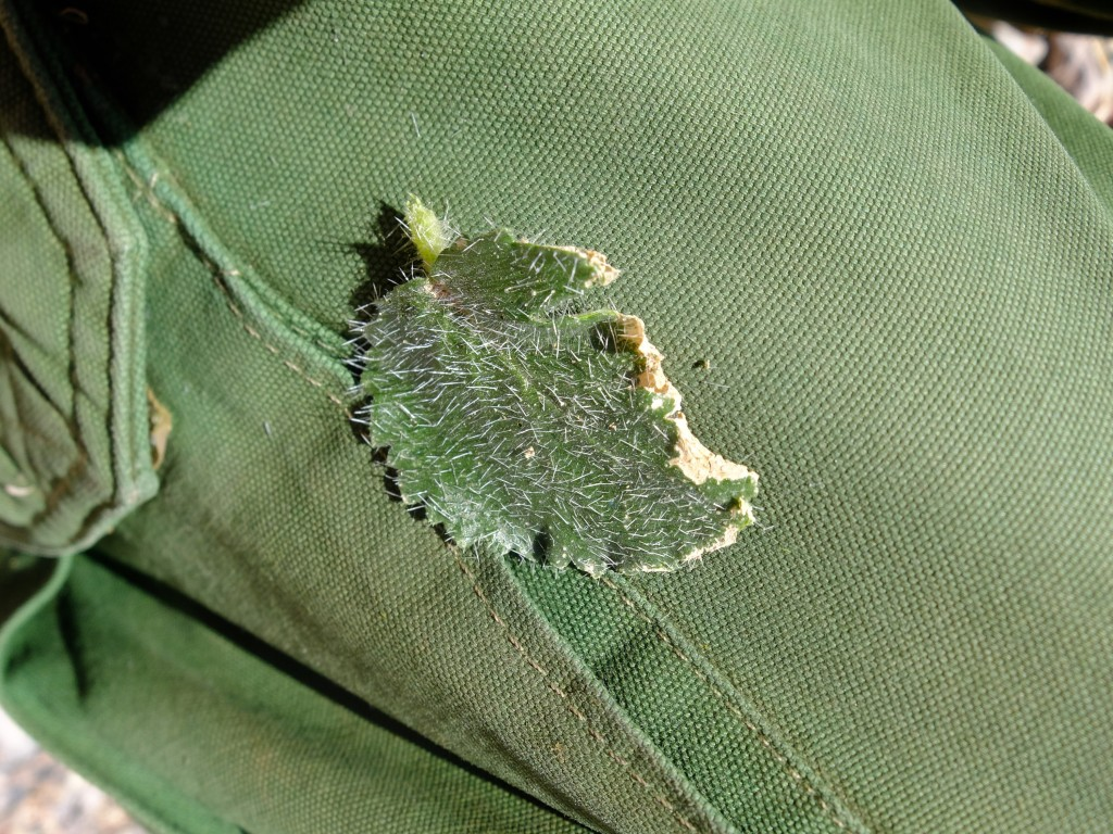 """Rock Nettle"" or ""Velcro Plant"" - leaf stuck to pants, just like velcro! (Eucnide urens, Family: Loasaceae)"