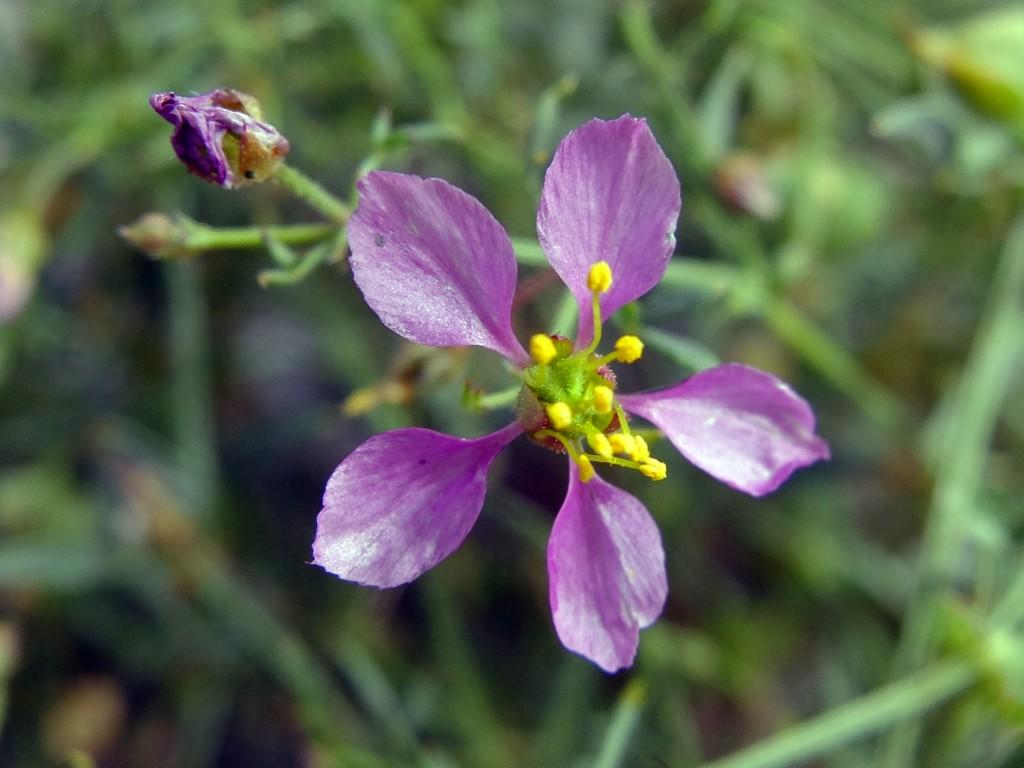 """California Fagonbush"" - flower (Fagonia laevis, Family: Zygophyllaceae)"