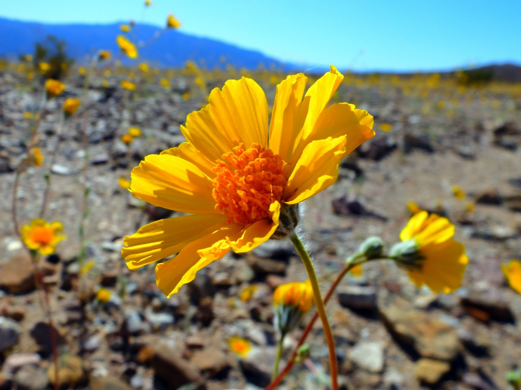 """Desert Gold"" (Geraea canescens, Family: Asteraceae)"