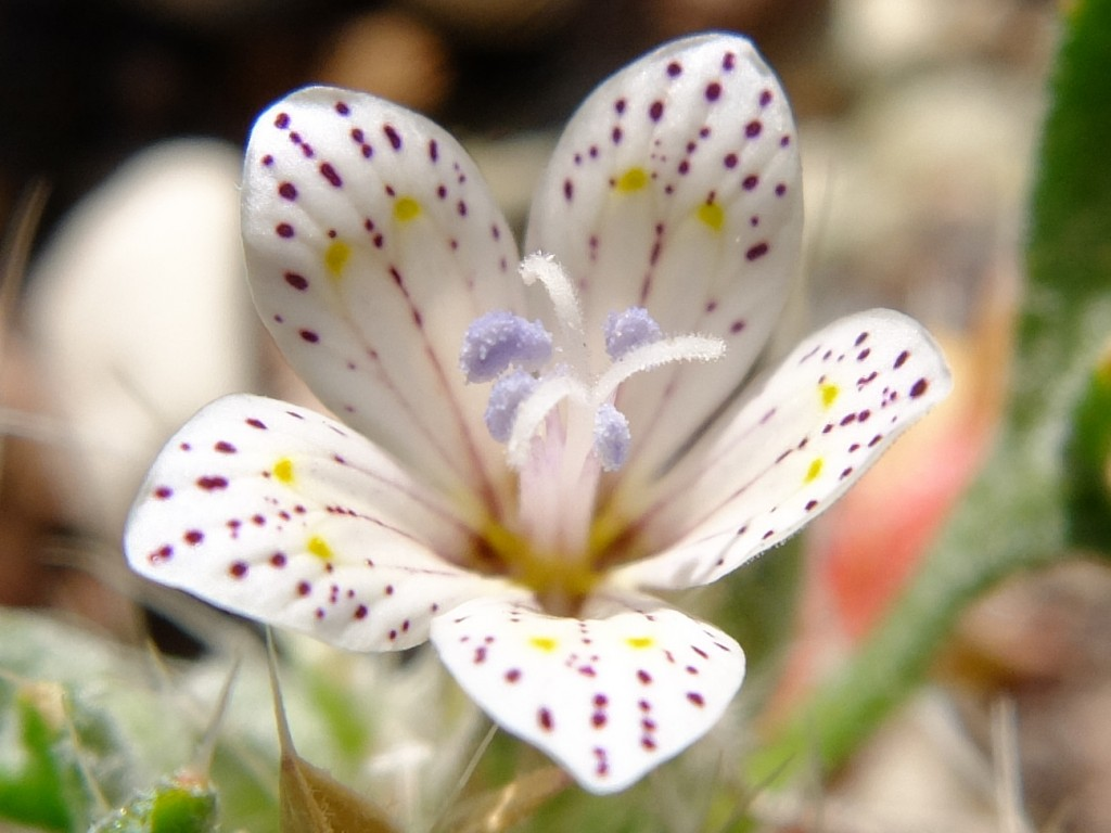 """Lilac Sunbonnet"" - flower (Langloisia setosissima ssp. punctata, Family: Polemoniaceae)"