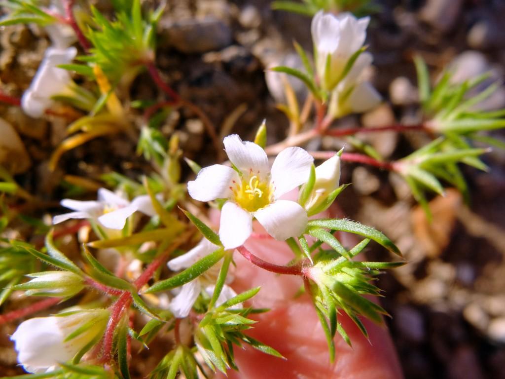 """""""Humble Gilia"""" (Linanthus demissus, Family: Polemoniaceae)"""