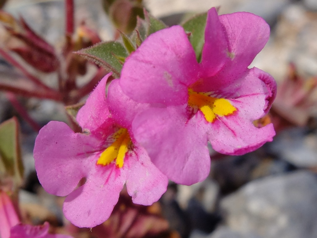 """Bigelow's Monkeyflower"" - flowers (Mimulus bigelovii, Family: Phrymaceae)"