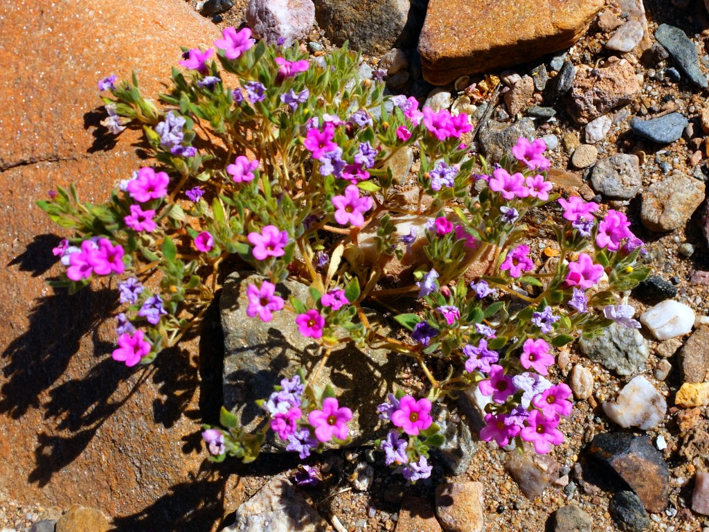 """""""Purplemat"""" (Nama demissum, Family: Boraginaceae)"""