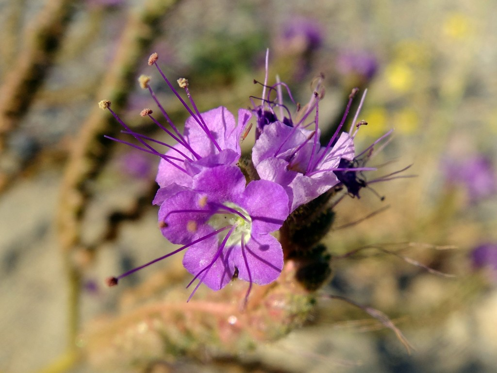 """Knotch-Leafed Phacelia"" - flowers (Phacelia crenulata, Family: Boraginaceae)"