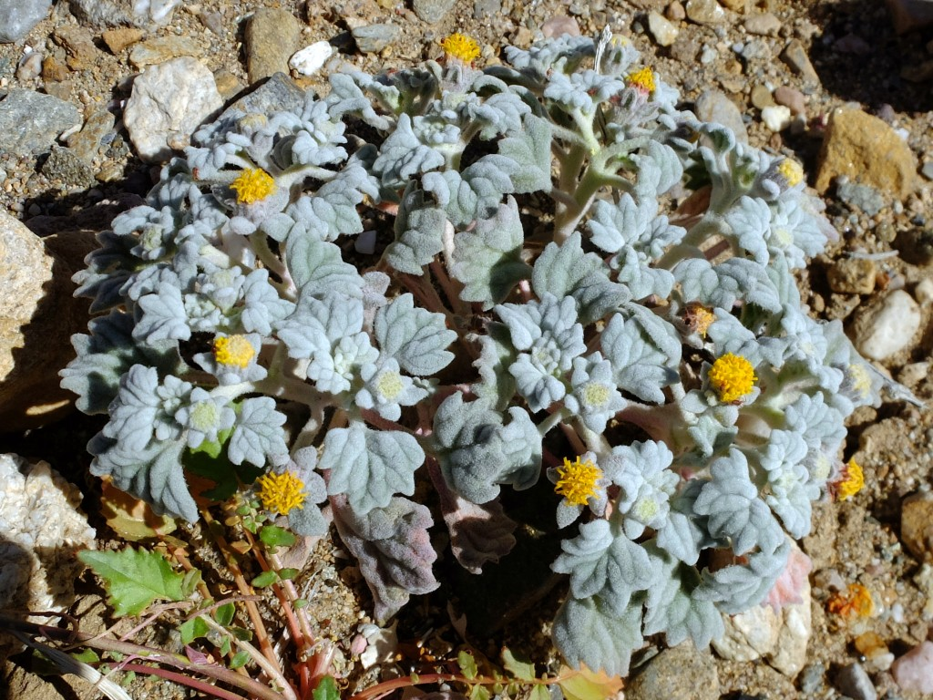 """Velvet Turtleback"" (Psathyrotes ramosissima, Family: Asteraceae)"