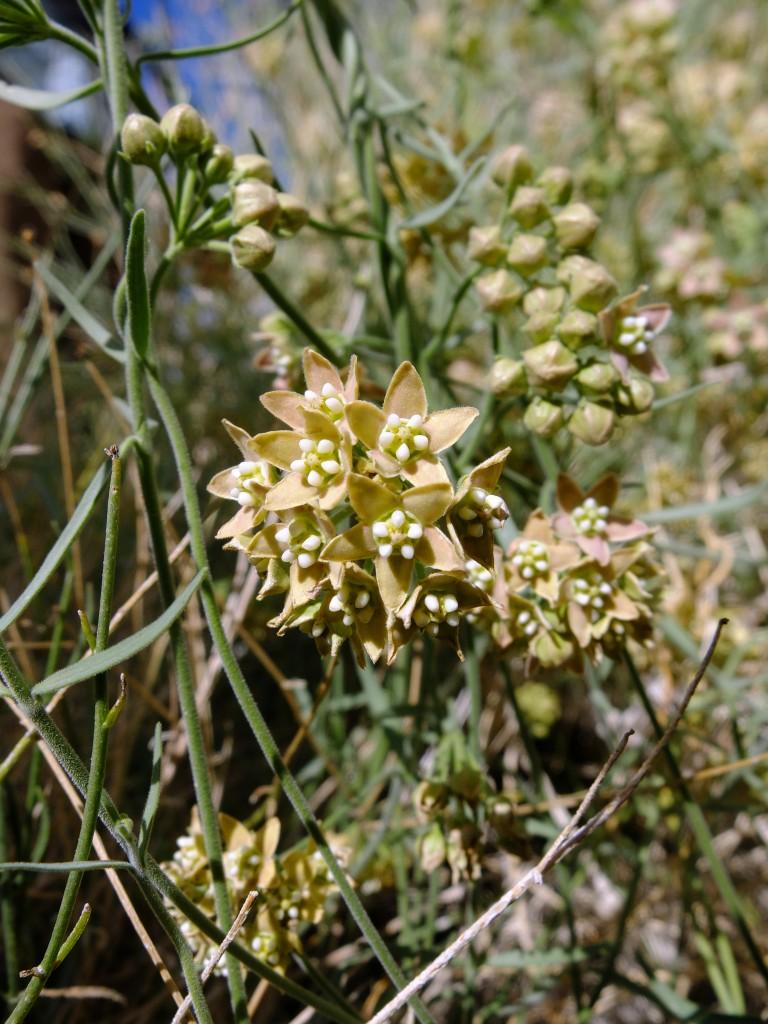 """Rambling Milkweed"" (Sarcostemma hirtellum, Family: Apocynaceae)"