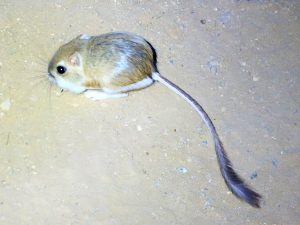 The Kangaroo Rat's unmistakable characteristics.