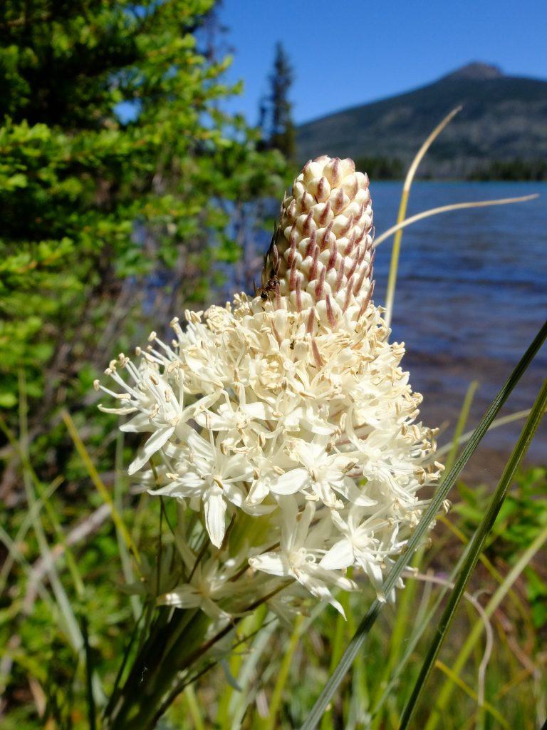 Bear Grass (Xerophyllum tenax)