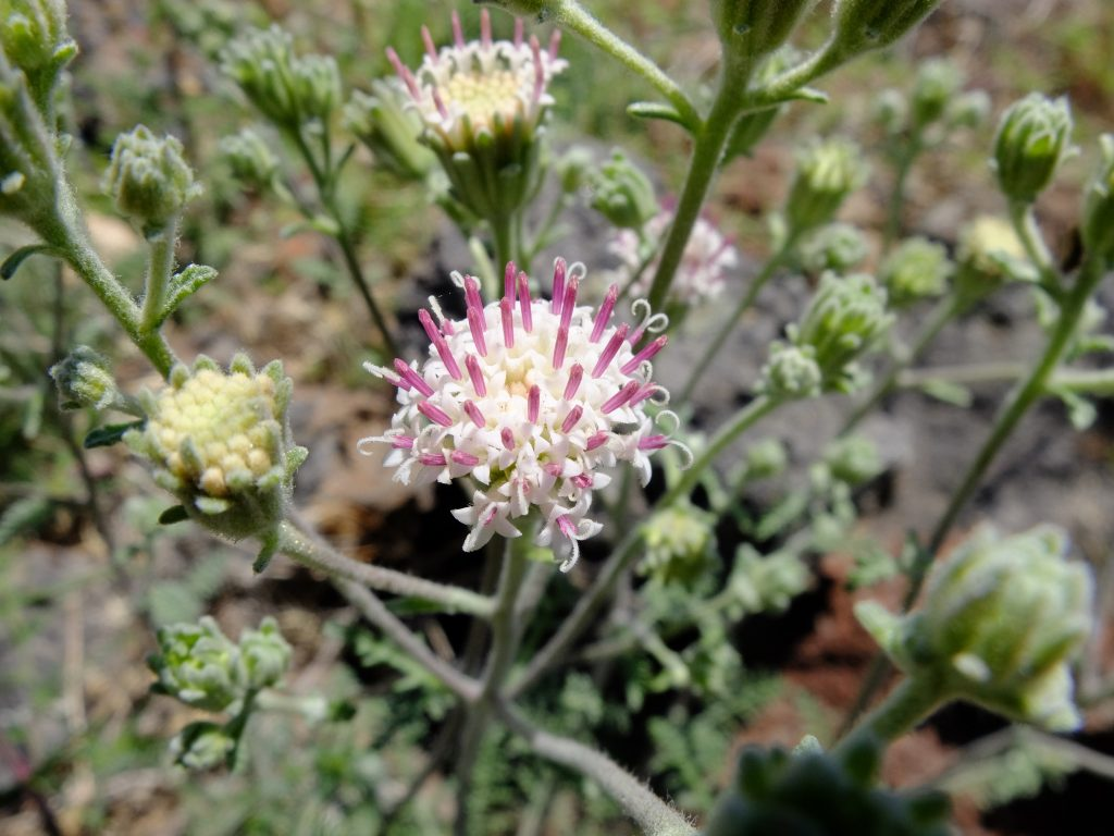 Pincushion Flower (genus Chaenactis)