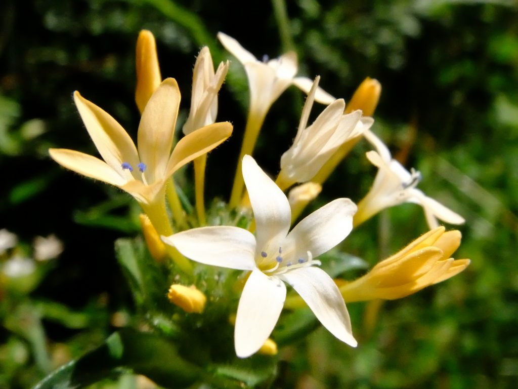 Large-Flowered Collomia (Collomia grandiflora)