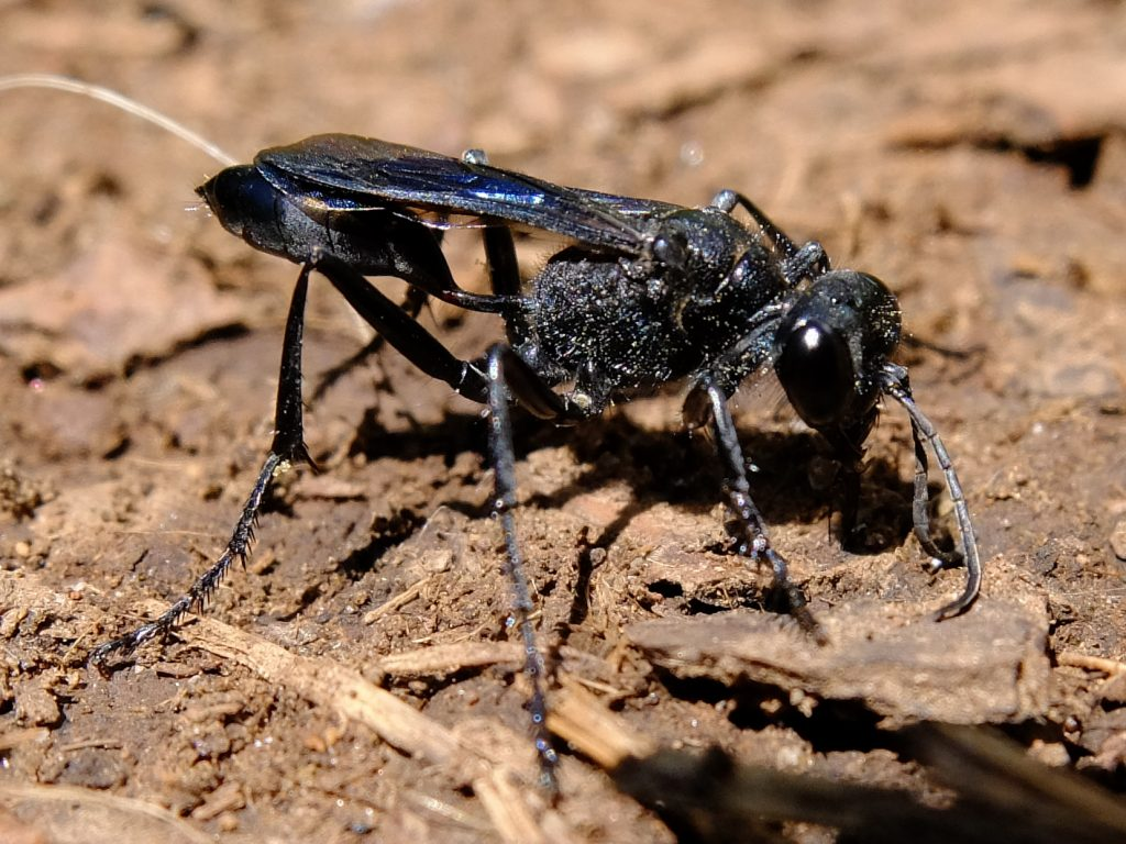 Blue Mud Dauber wasp (Chalybion californicum)