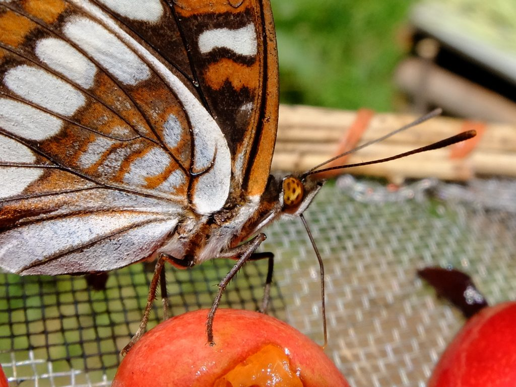 Lorquins Admiral (Limenitis lorquini), on drying cherries