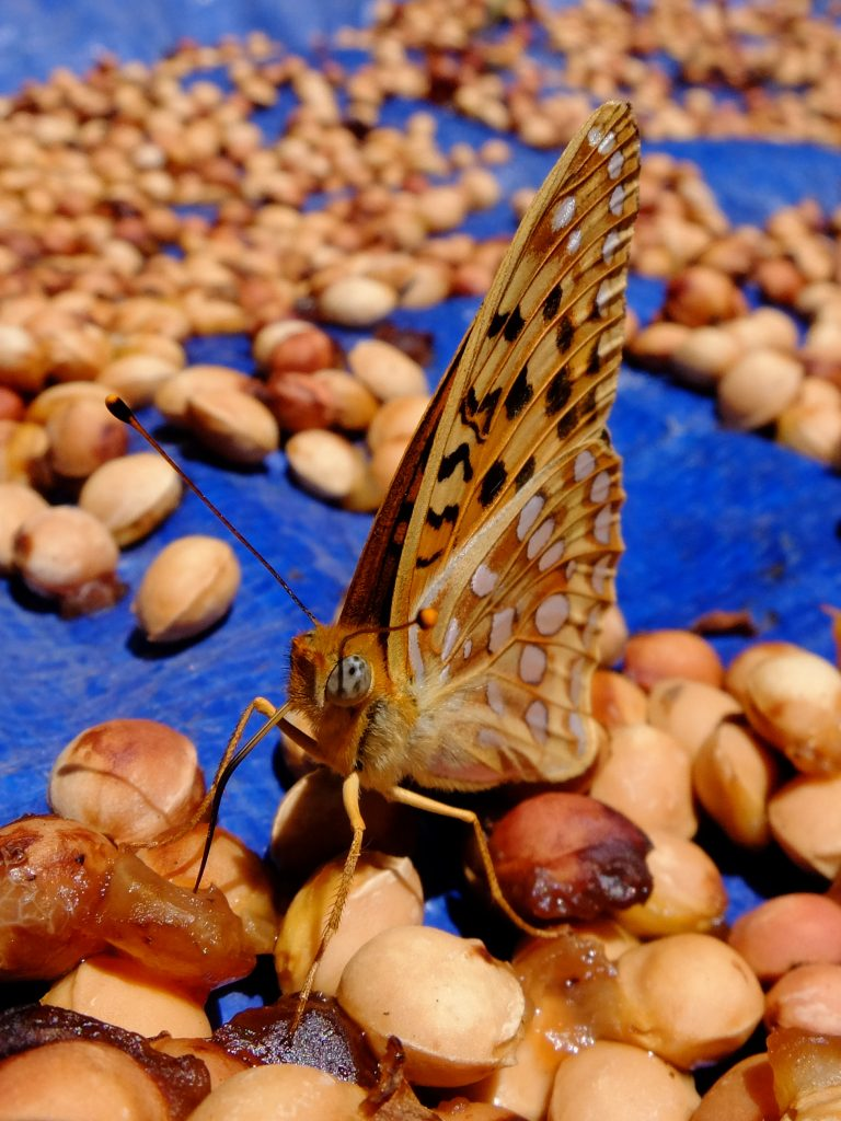 Fritillary butterfly helping to clean cherry pits