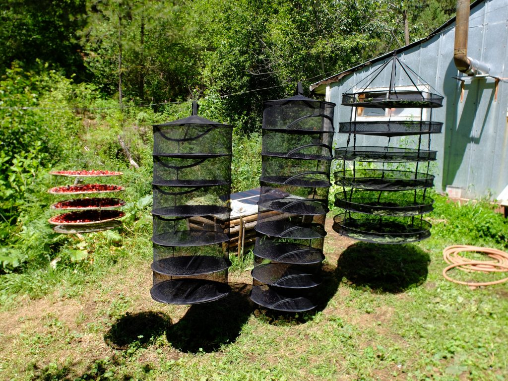 Drying baskets full of Saskatoons and Cherries